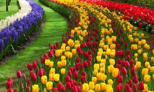 Khám phá lễ hội ngắm hoa tulip lớn nhất ở Canada