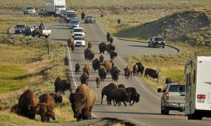 Công viên quốc gia Yellowstone có gì thú vị?